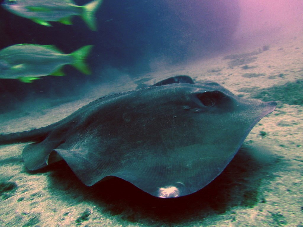 Diving in Tenerife with Sting Rays